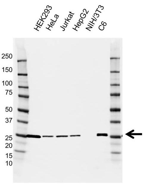 Anti UCHL3 Antibody, clone AB04/3F5 (PrecisionAb Monoclonal Antibody) gallery image 1