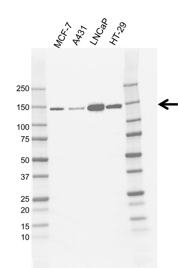 Anti Unconventional Myosin 6 Antibody, clone CD02/3A9 (PrecisionAb Monoclonal Antibody) gallery image 1