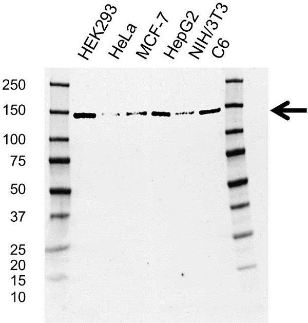 Anti UPF1 Antibody, clone AB03/4D5 (PrecisionAb Monoclonal Antibody) gallery image 1