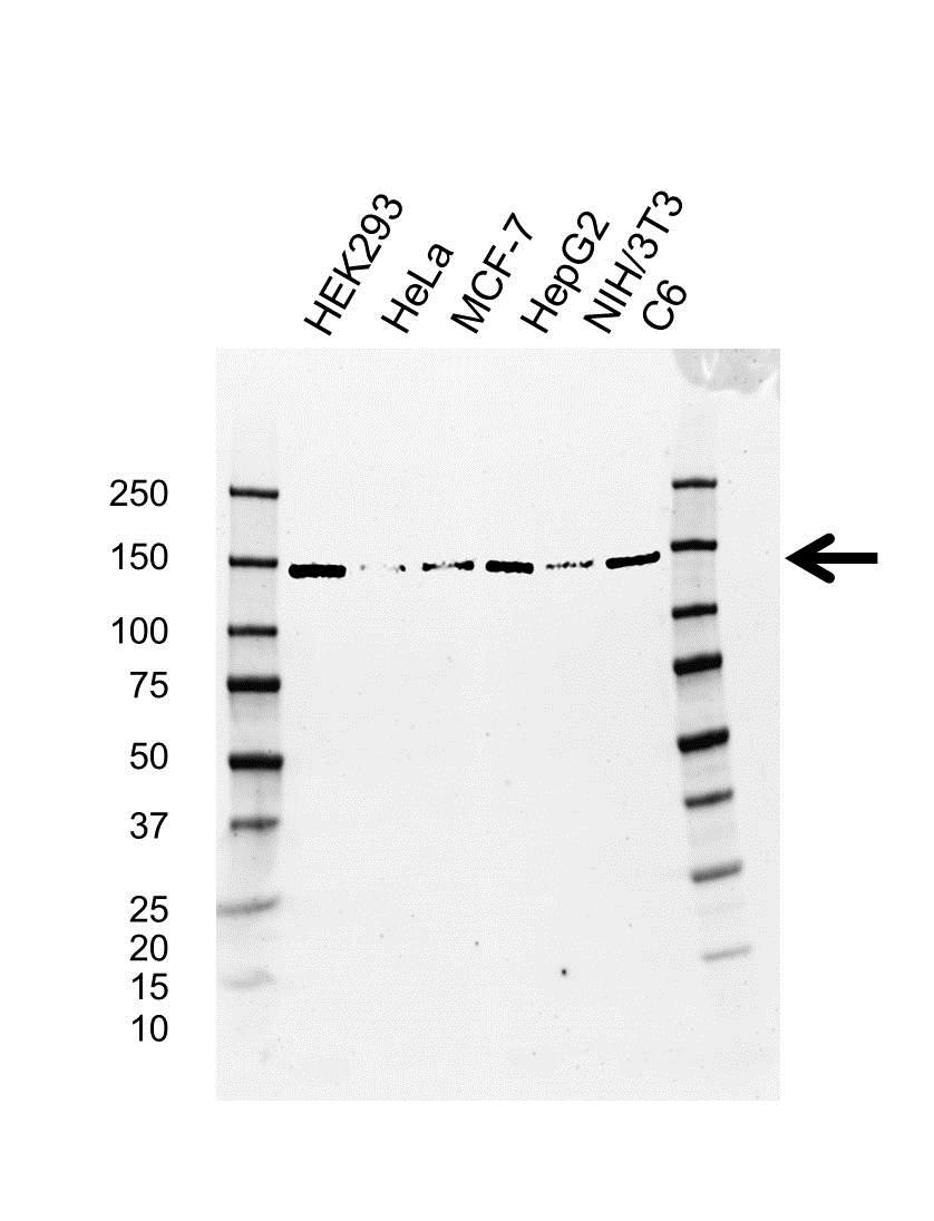 Anti UPF1 Antibody, clone AB03/4D5 (PrecisionAb™ Monoclonal Antibody) gallery image 1