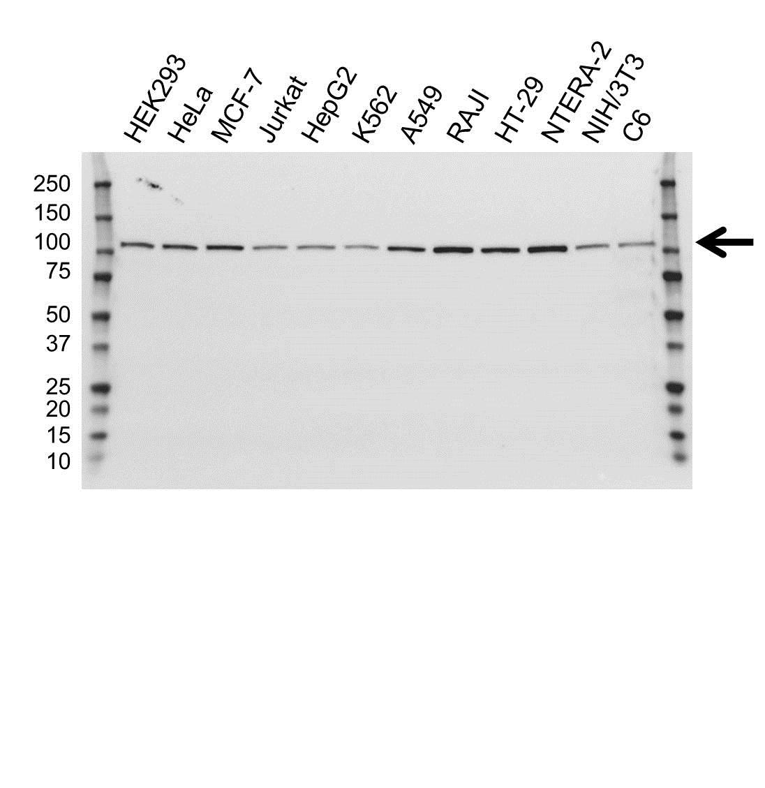 Anti USP5 Antibody, clone OTI1F8 (PrecisionAb Monoclonal Antibody) gallery image 1
