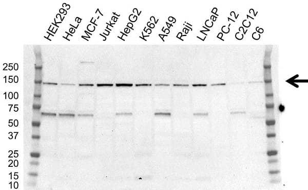 Anti USP7 Antibody, clone OTI1F12 (PrecisionAb Monoclonal Antibody) gallery image 1
