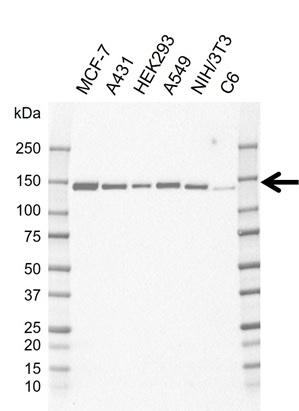 Anti USP8 Antibody, clone AB01/1B5 (PrecisionAb Monoclonal Antibody) thumbnail image 1