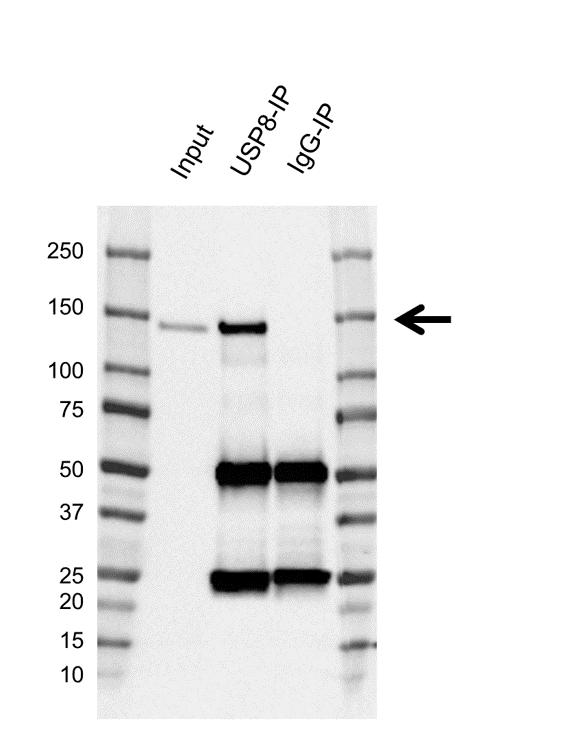 Anti USP8 Antibody, clone AB01/1B5 (PrecisionAb Monoclonal Antibody) thumbnail image 2