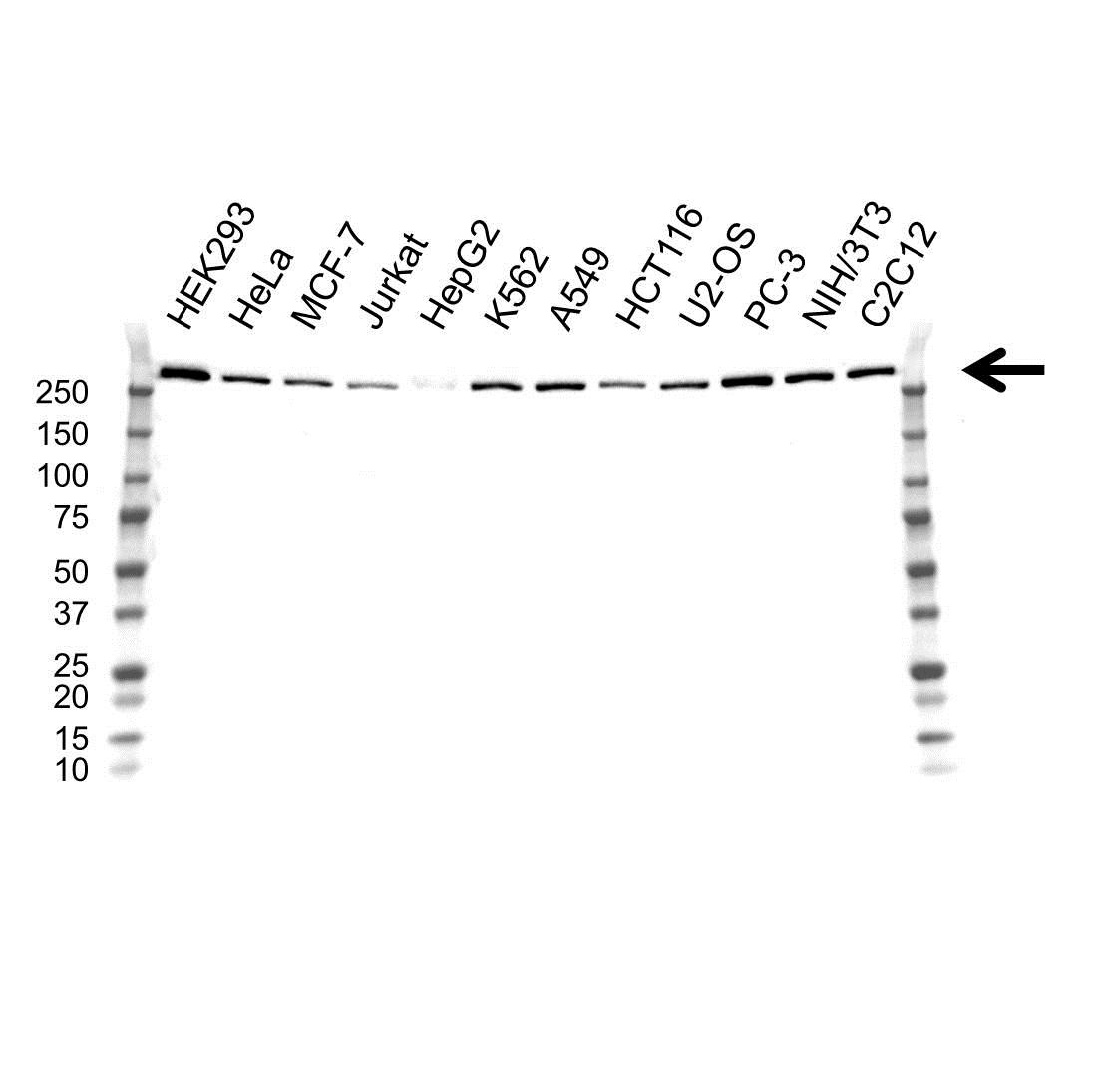 Anti USP9X Antibody, clone OTI1D7 (PrecisionAb Monoclonal Antibody) gallery image 1