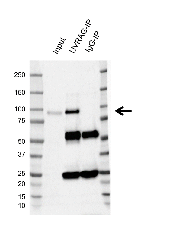 Anti Uvrag Antibody, clone AB05/4B1 (PrecisionAb Monoclonal Antibody) thumbnail image 2