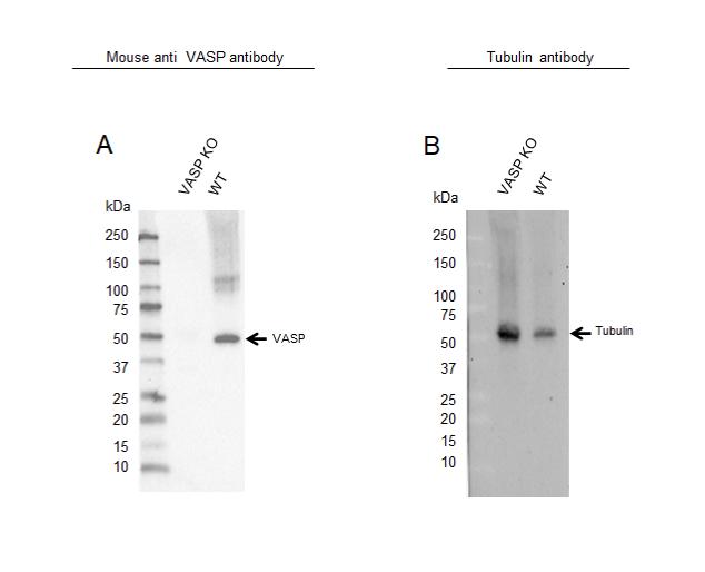 Anti VASP Antibody, clone OTI1C3 (PrecisionAb Monoclonal Antibody) thumbnail image 2