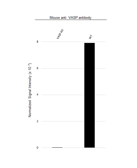 Anti VASP Antibody, clone OTI1C3 (PrecisionAb Monoclonal Antibody) thumbnail image 3