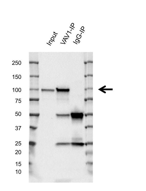 Anti VAV1 Antibody, clone 1582CT802.383 (PrecisionAb Monoclonal Antibody) thumbnail image 2