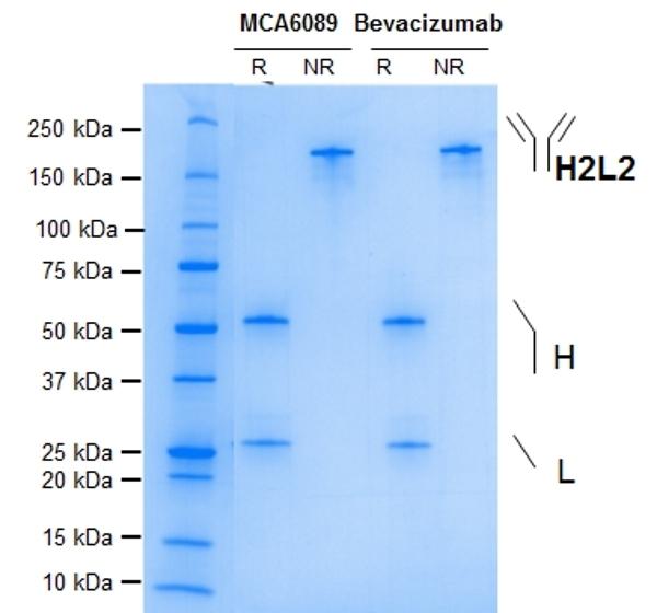 Anti VEGF (Bevacizumab Biosimilar) Antibody, clone Bevacizumab thumbnail image 1