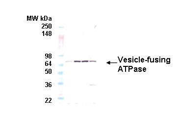 Anti Vesicle-fusing ATPase Antibody, clone 9G7-3 gallery image 1