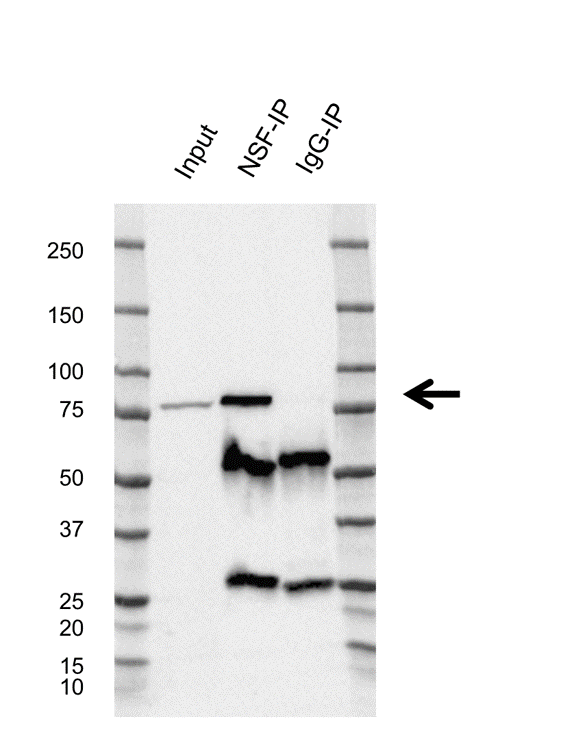 Anti Vesicle-fusing ATPase Antibody, clone CD01/1F3 (PrecisionAb Monoclonal Antibody) thumbnail image 2