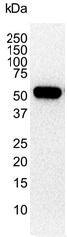 Anti Human Vimentin Antibody, clone AbD02701 thumbnail image 3