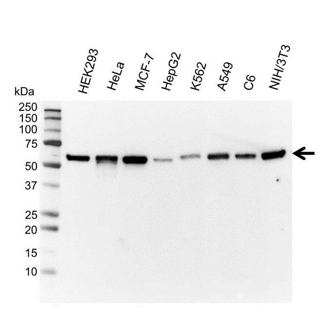 Anti Vimentin Antibody, clone AbD2701 (PrecisionAb Monoclonal Antibody) thumbnail image 1