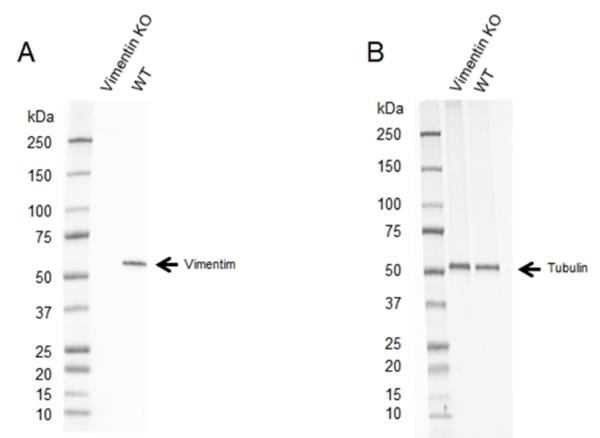 Anti Vimentin Antibody, clone AbD2701 (PrecisionAb Monoclonal Antibody) thumbnail image 2