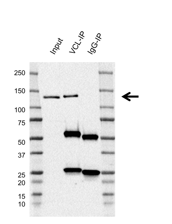 Anti Vinculin Antibody, clone F01/4H8 (PrecisionAb Monoclonal Antibody) thumbnail image 2