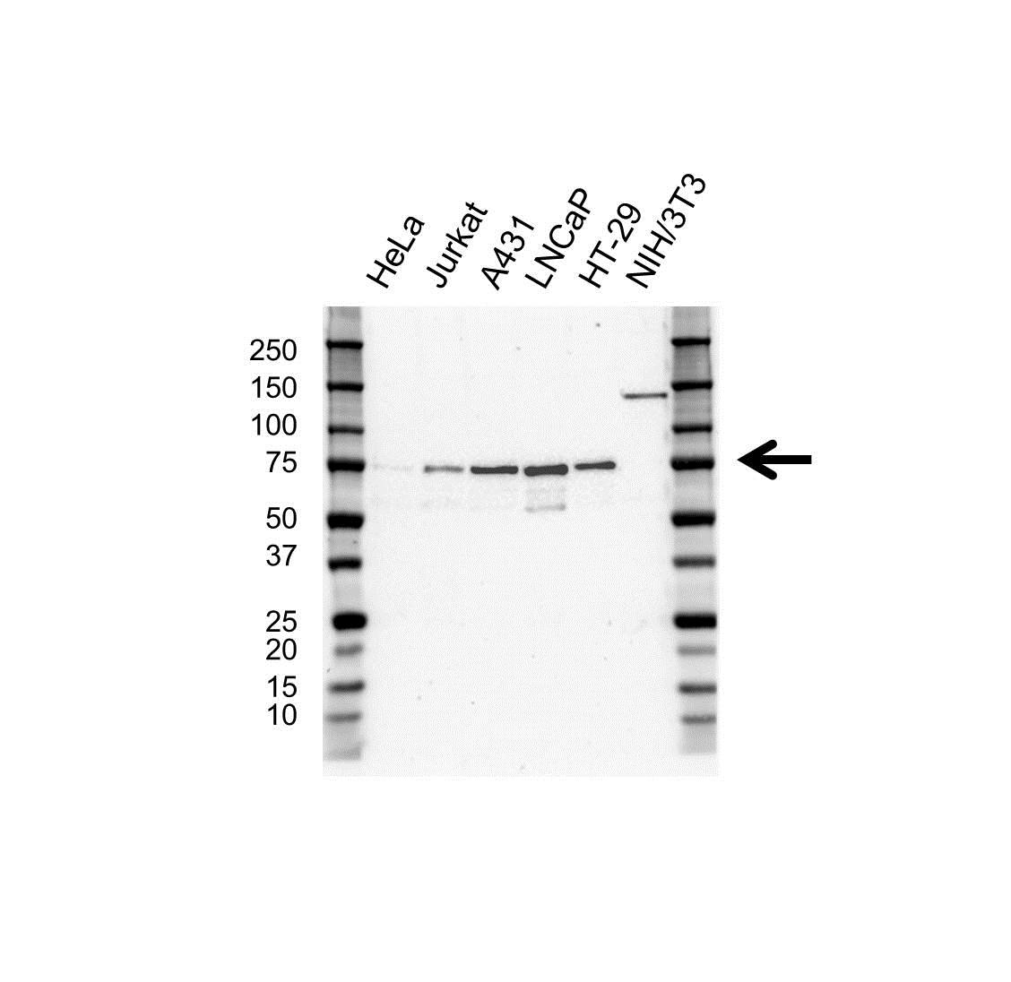 Anti VISA Antibody, clone OTI8A11 (PrecisionAb™ Monoclonal Antibody) gallery image 1