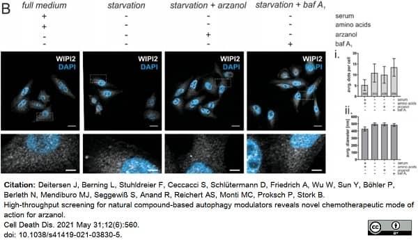 Anti WIPI2 Antibody, clone 2A2 thumbnail image 2