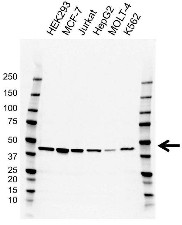 Anti Wwox Antibody, clone CD03/3H9 (PrecisionAb Monoclonal Antibody) gallery image 1