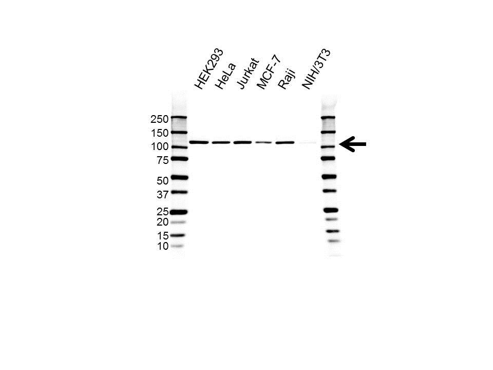 Anti Xpf Antibody, clone UMAB20 (PrecisionAb™ Monoclonal Antibody) gallery image 1