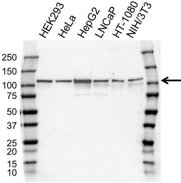 Anti XRN2 Antibody, clone OTI5F4 (PrecisionAb Monoclonal Antibody) gallery image 1