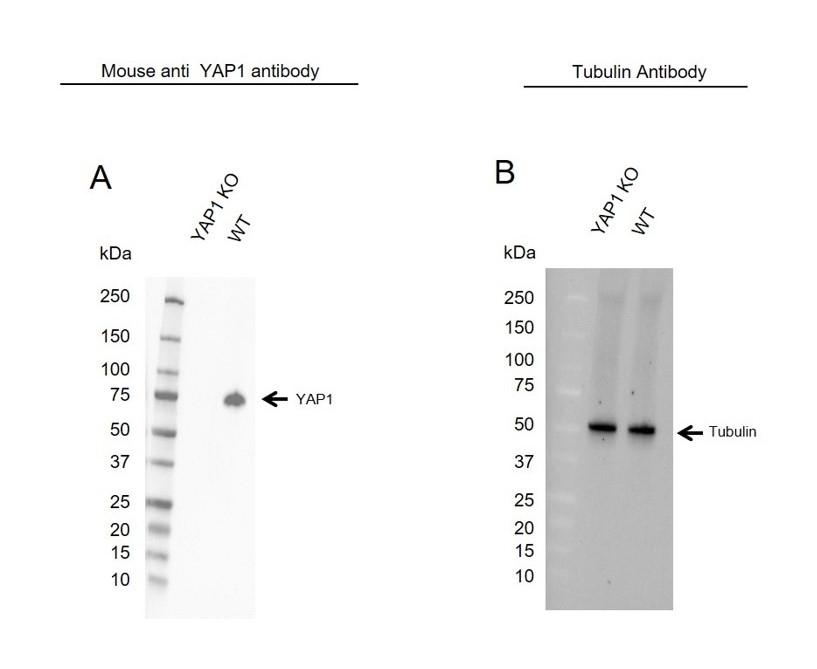 Anti YAP1 Antibody, clone 1A12 (PrecisionAb Monoclonal Antibody) thumbnail image 1