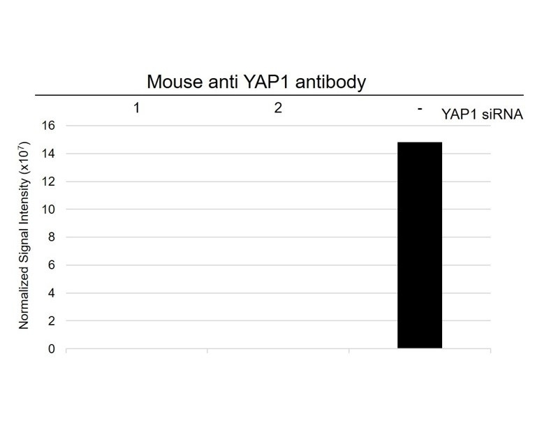 Anti YAP1 Antibody, clone 1A12 (PrecisionAb Monoclonal Antibody) thumbnail image 5