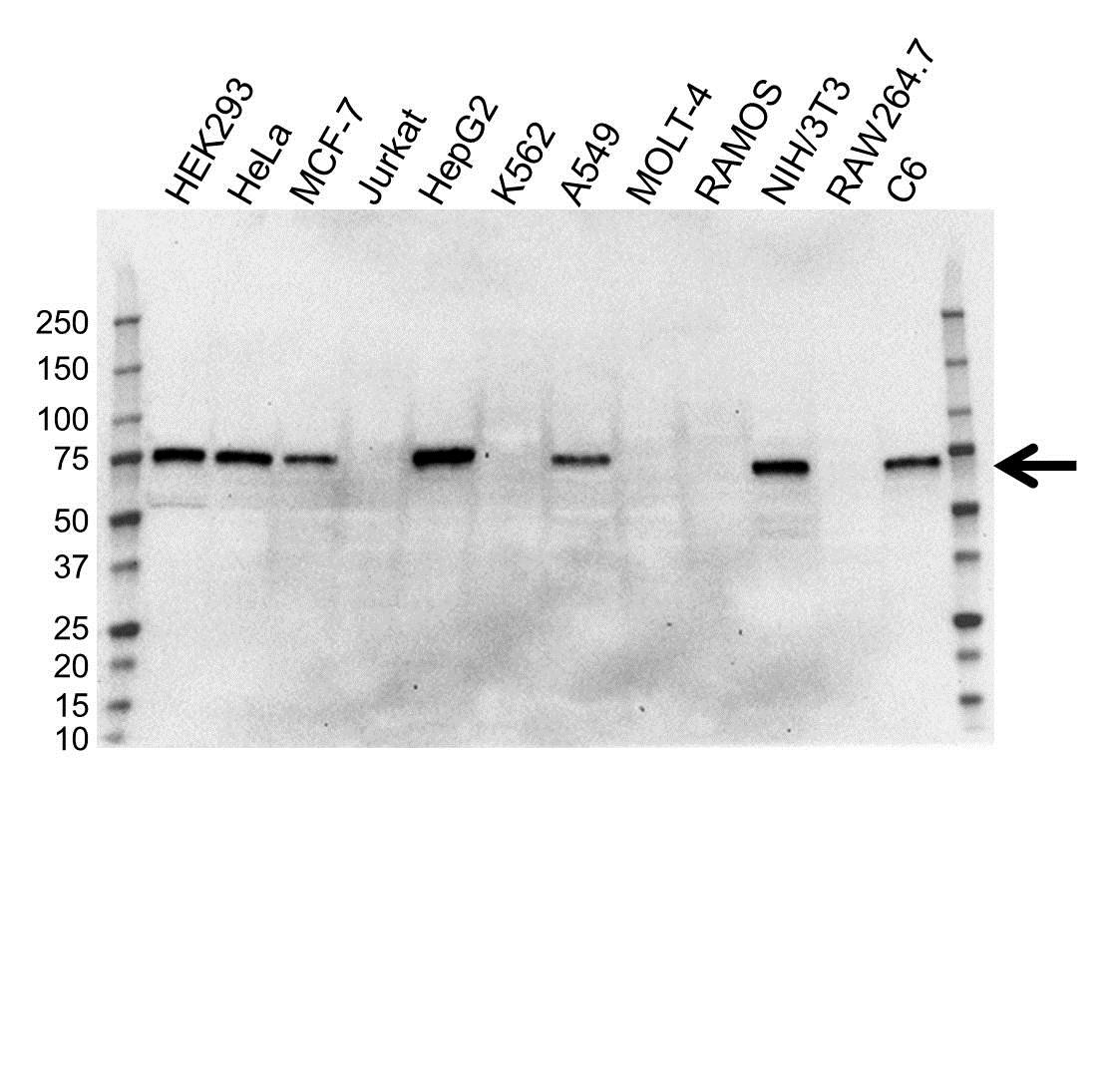 Anti YAP1 Antibody (PrecisionAb™ Monoclonal Antibody) gallery image 1