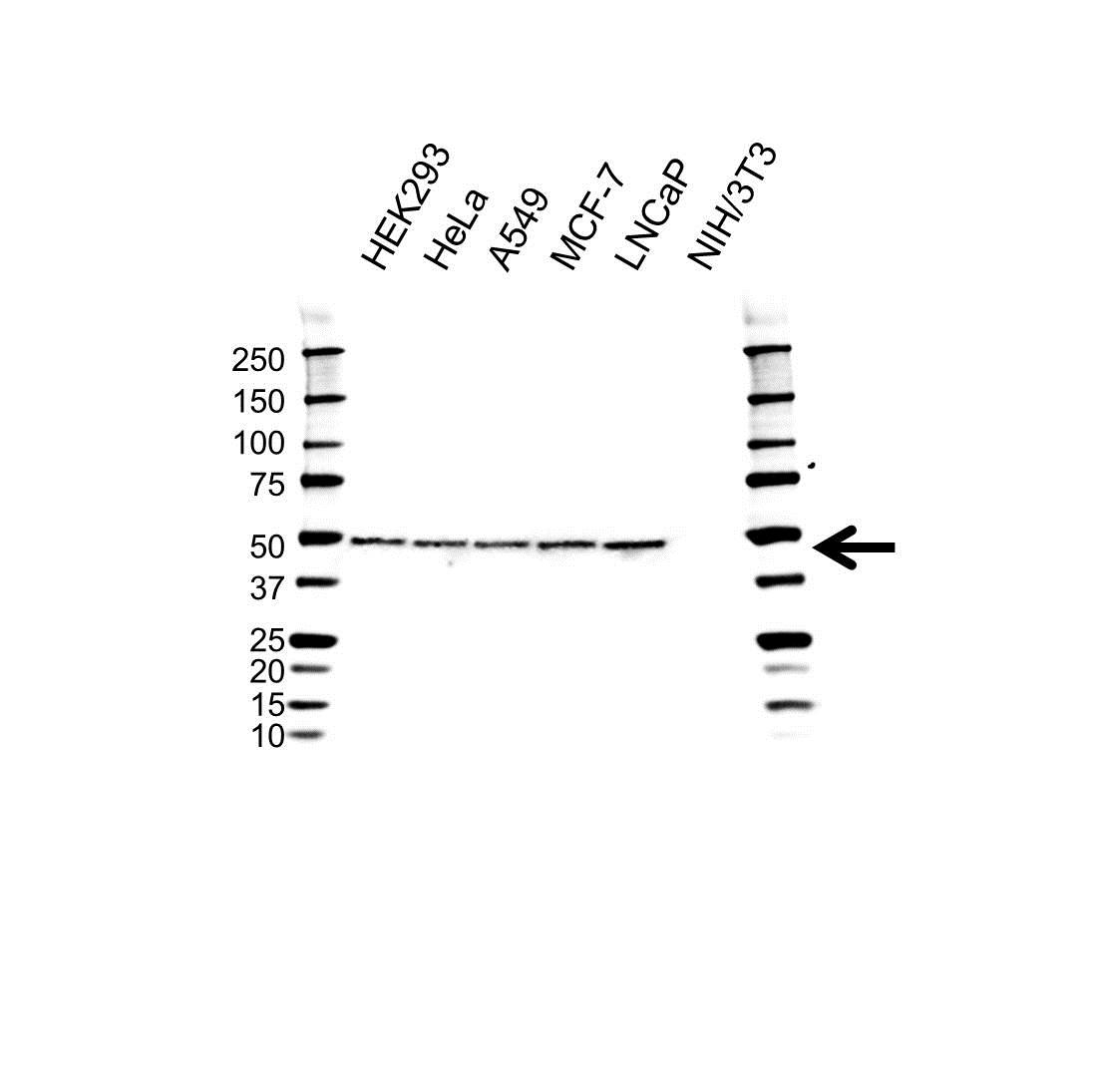 Anti YBX1 Antibody, clone OTI11A7 (PrecisionAb™ Monoclonal Antibody) gallery image 1
