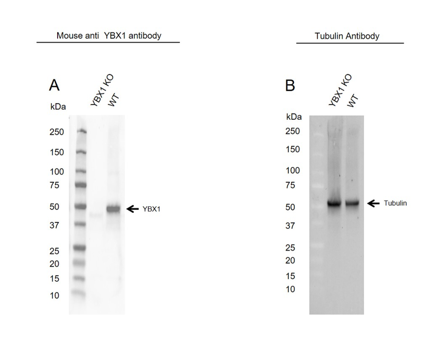 Anti YBX1 Antibody, clone OTI11A7 (PrecisionAb Monoclonal Antibody) thumbnail image 2