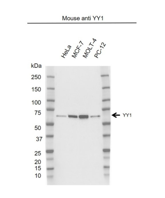 Anti YY1 Antibody, clone 39A10-G2 (PrecisionAb Monoclonal Antibody) gallery image 1