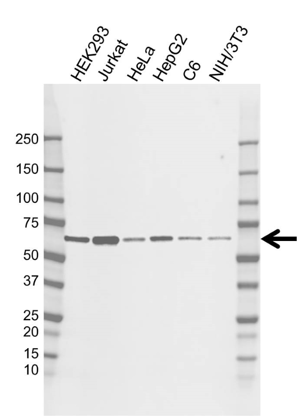 Anti YY1 Antibody, clone CD02/2B2 (PrecisionAb Monoclonal Antibody) thumbnail image 1