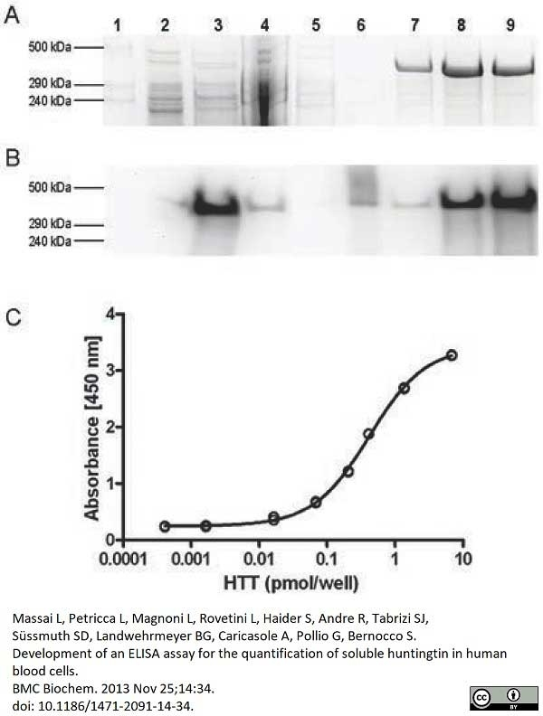 Anti Huntingtin Antibody, clone HDB4E10 thumbnail image 3