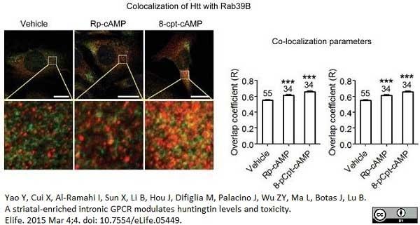 Anti Huntingtin Antibody, clone HDC8A4 thumbnail image 3