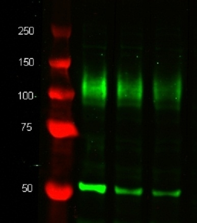 Anti Mouse CD107b Antibody, clone M3/84 thumbnail image 1