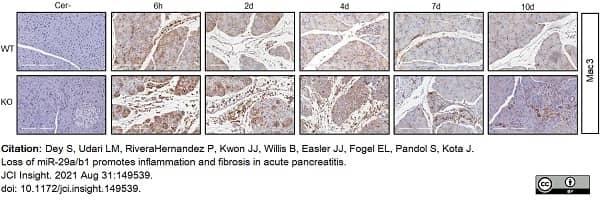 Anti Mouse CD107b Antibody, clone M3/84 thumbnail image 4