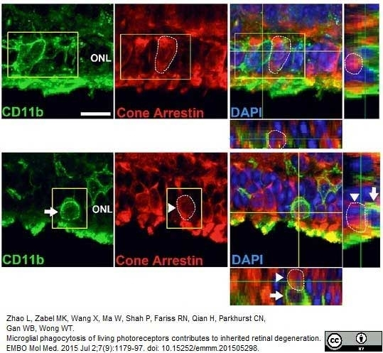 Anti Mouse CD11b Antibody, clone 5C6 thumbnail image 12