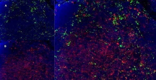 Anti Mouse CD11b Antibody, clone 5C6 thumbnail image 8