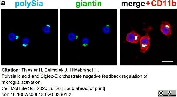 Anti Mouse CD11b Antibody, clone M1/70.15 thumbnail image 19
