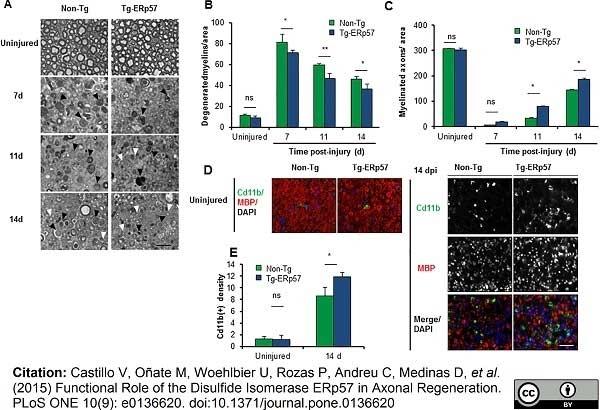 Anti Mouse CD11b Antibody, clone M1/70.15 thumbnail image 8