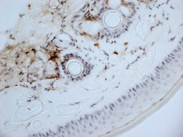 Anti Mouse CD13 Antibody, clone ER-BMDM1 thumbnail image 6