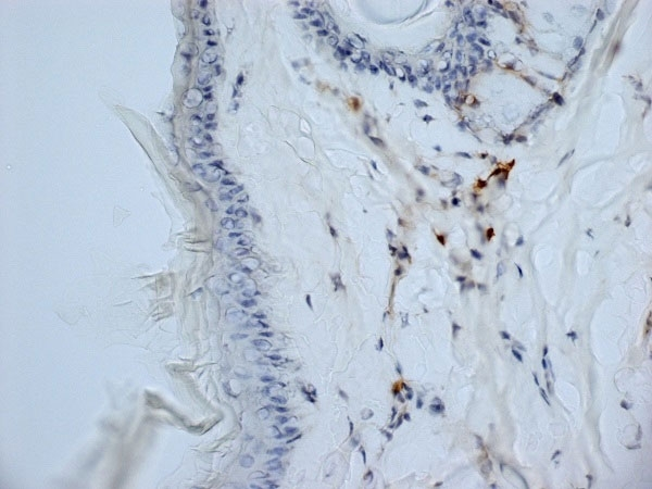 Anti Mouse CD13 Antibody, clone ER-BMDM1 thumbnail image 7
