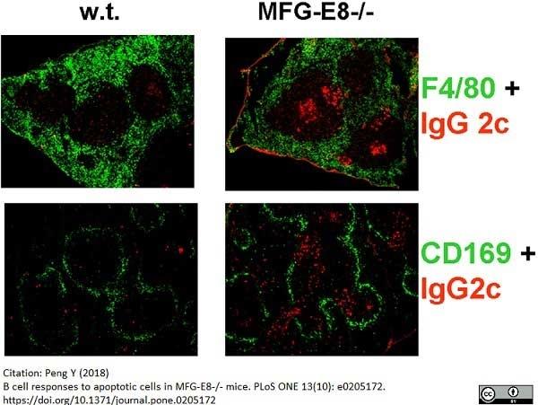 Anti Mouse CD169 antibody, clone 3D6.112 thumbnail image 11