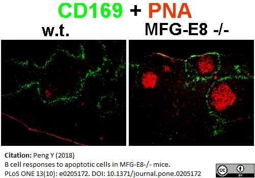 Anti Mouse CD169 antibody, clone 3D6.112 gallery image 12