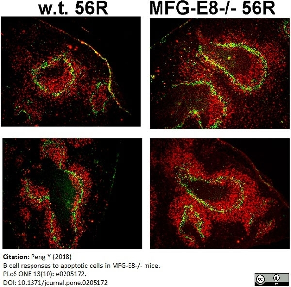 Anti Mouse CD169 antibody, clone 3D6.112 gallery image 18