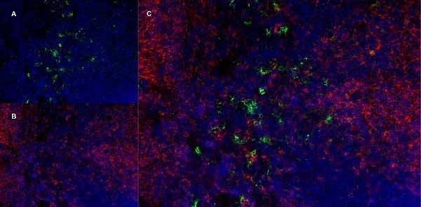 Anti Mouse CD169 antibody, clone 3D6.112 thumbnail image 5