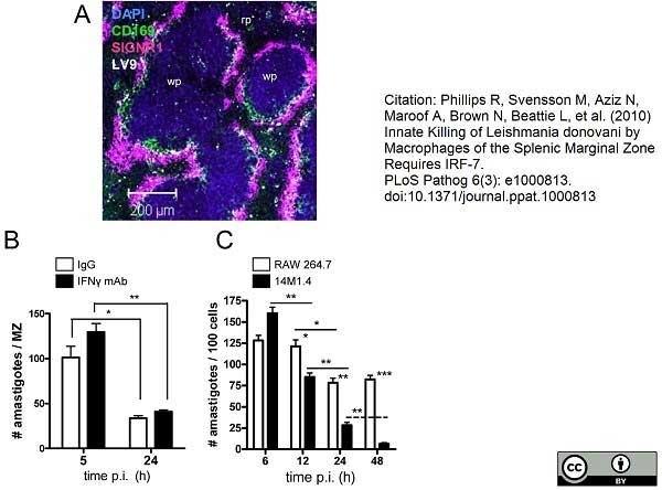 Anti Mouse CD169 antibody, clone 3D6.112 thumbnail image 7