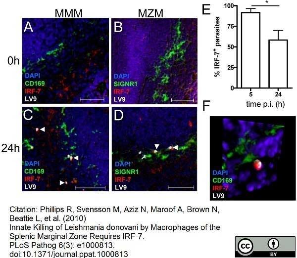 Anti Mouse CD169 antibody, clone 3D6.112 thumbnail image 8