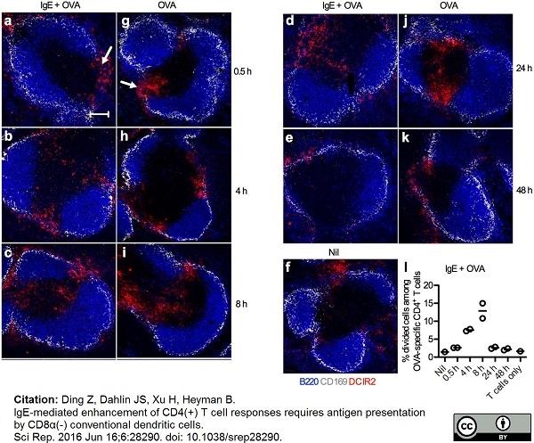 Anti Mouse CD169 Antibody, clone MOMA-1 thumbnail image 1