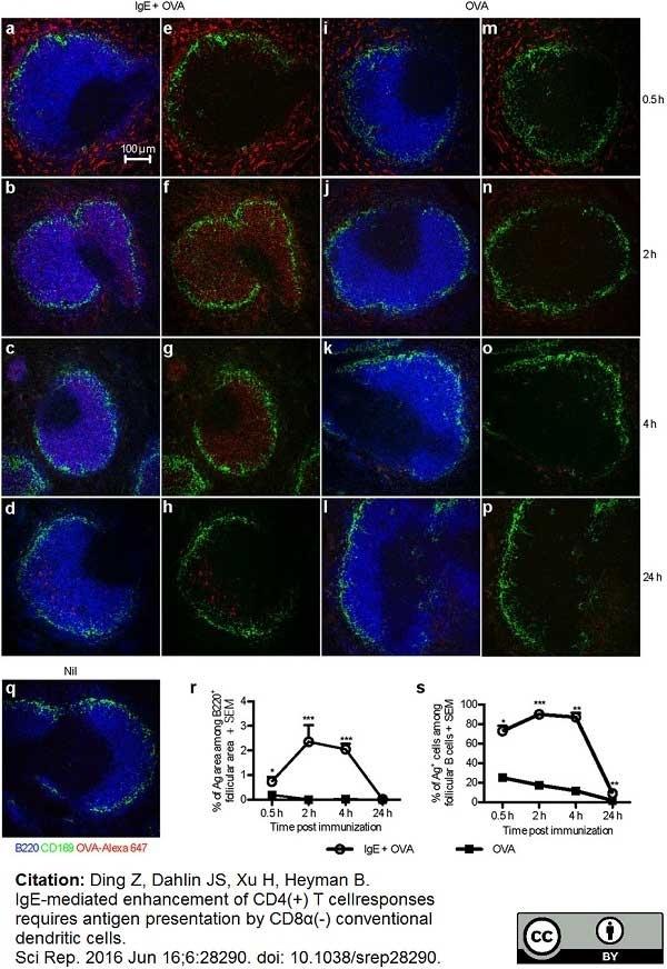 Anti Mouse CD169 Antibody, clone MOMA-1 thumbnail image 16